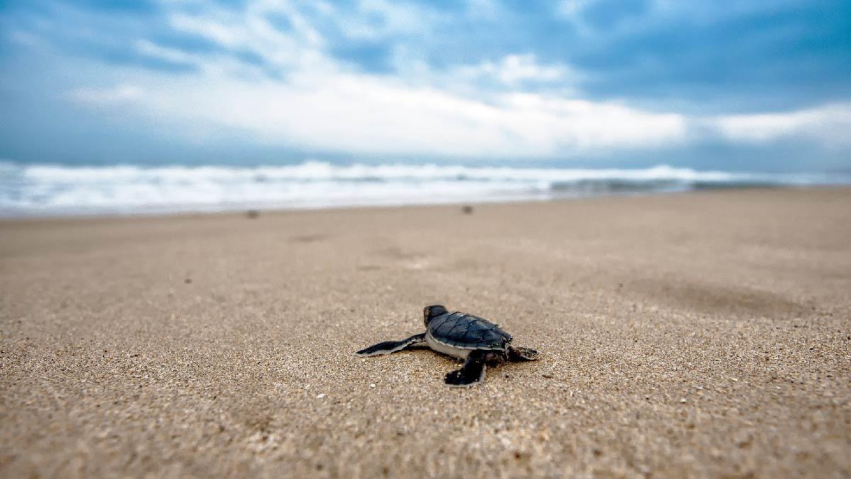 Desove de tortugas en Costa Rica