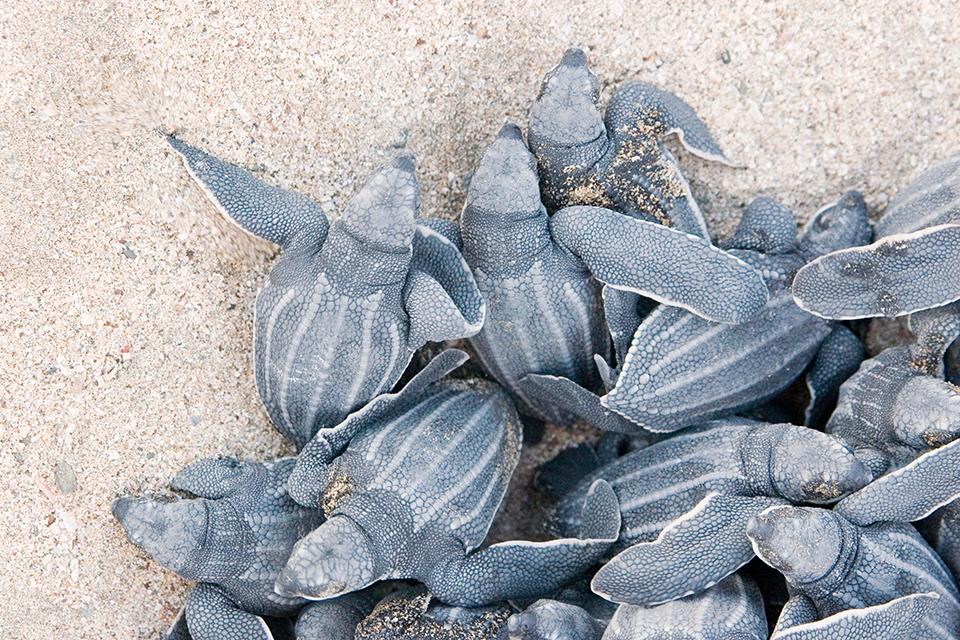 El espectáculo del desove de tortugas marinas en Costa Rica