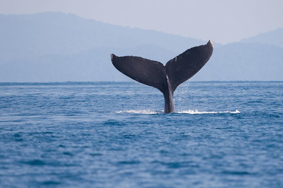 cola-ballena