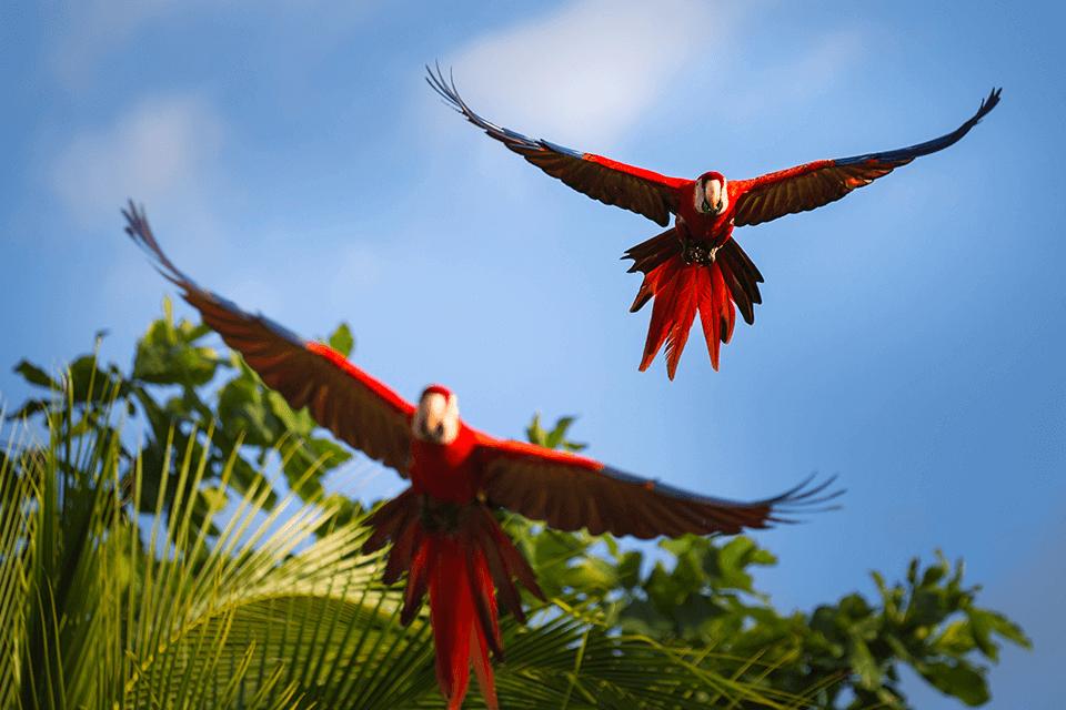 scarleth-macaw
