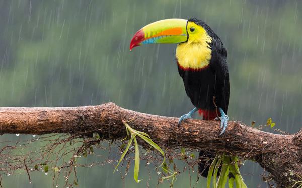 toucan-rain